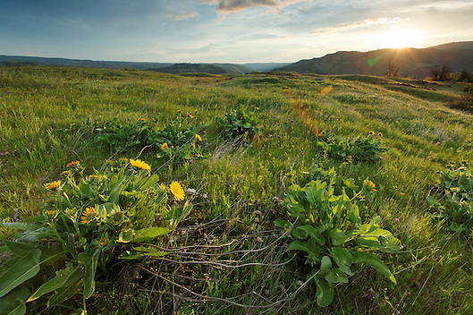 Sun rises over wildflowers on the Rowena Plateau, Tom McCall Preserve, Rowena, Oregon, USA (Brad Mitchell)