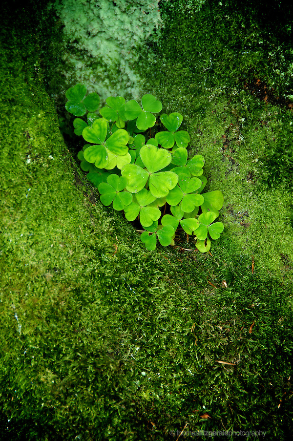Shamrocks growing in the nook of a tree (Thomas fitzgerald)