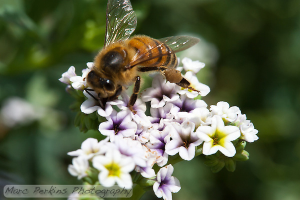 A honeybee (_Apis mellifera_) forager sticks her antennae and forelegs into a small purple and white flower at Crystal Cove State Park.  The bee's pollen basket (corbicula) on her hind legs are stuffed full with tan pollen. (Marc C. Perkins)