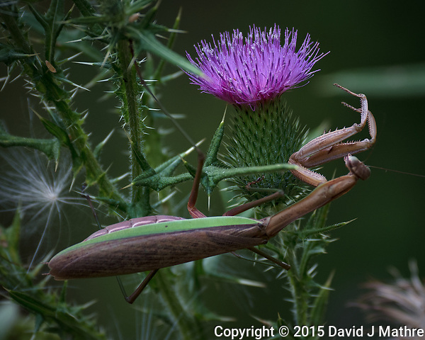 Praying Mantis hunting on a Thistle flower. Image taken with a Nikon D810a camera and 80-400 mm VRII lens. (David J Mathre)