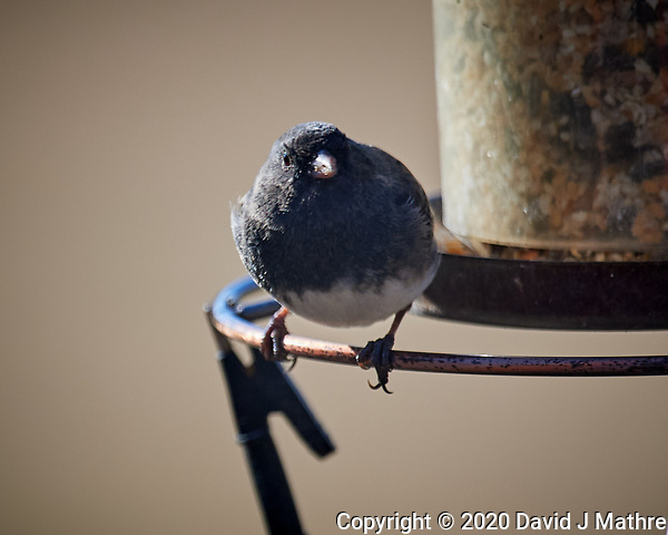 Dark-eyed Junco. Image taken with a Nikon D5 camera and 600 mm f/4 VR lens (ISO 400, 600 mm, f/4, 1/1250 sec). (DAVID J MATHRE)