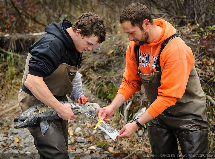 Dylan Burbank (left) and David Campbell, fish technicians for the non-profit Northern Southeast Regional Aquaculture Association, Inc. (NSRAA), collect milt from a male chum salmon at a man-made spawning channel near Herman Creek located near Haines, Alaska. NSRAA built the channel to collect wild broodstock by harvesting spawning female and male salmon for their eggs and milt to artificially spawn wild chum salmon. The eggs are fertilized with milt and placed in stream-side incubation boxes on Herman Creek and the Klehini River. In 2014, 2.4 million eggs were seeded into these incubation boxes. The 2013 incubation box survival rate was 90%. Without the artificial spawning, natural survival is said to be only 10%. Based in Sitka, Alaska, NSRAA conducts salmon enhancement projects in northern southeast Alaska. It is funded through a salmon enhancement tax (of three percent) and cost-recovery income. NSRAA also produces sockeye, chinook, and coho salmon. Male chum salmon return to Herman Creek to spawn with female chum salmon during the fall chum salmon run. The chum salmon return to freshwater Herman Creek, tributary of the Klehini River after living three to five years in the saltwater ocean. Spawning only once, chum salmon die approximately two weeks after they spawn. Chilkat River and Klehini River chum salmon are the primary food source for one of the largest gatherings of bald eagles in the world. Each fall, bald eagles congregate in the Alaska Chilkat Bald Eagle Preserve. (© John L. Dengler/Dengler Images)