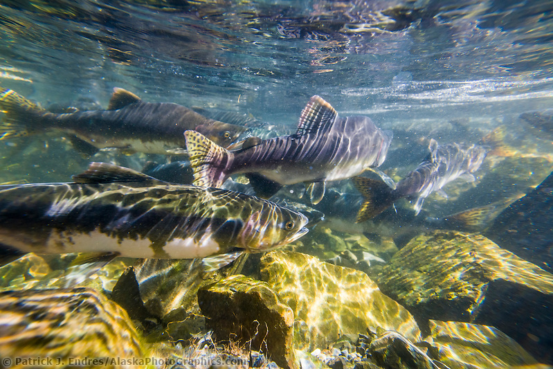 Pink Salmon spawn in stream adjacent to the Sitka Sound, Fairbanks, Alaska. (Patrick J Endres / AlaskaPhotoGraphics.com)
