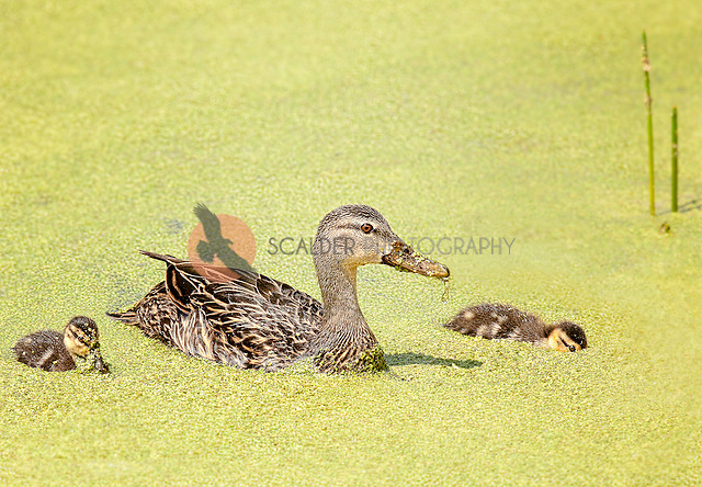 Mottled duck with ducklings feeding in duckweed (sandra calderbank)