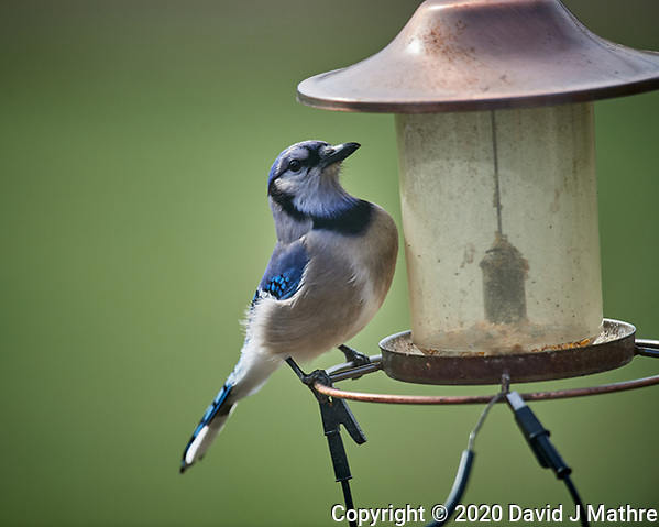 Blue Jay at an empty bird feeder. Image taken with a Nikon D5 camera and 600 mm f/4 VR lens (ISO 450, 600 mm, f/4, 1/1250 sec) (DAVID J MATHRE)