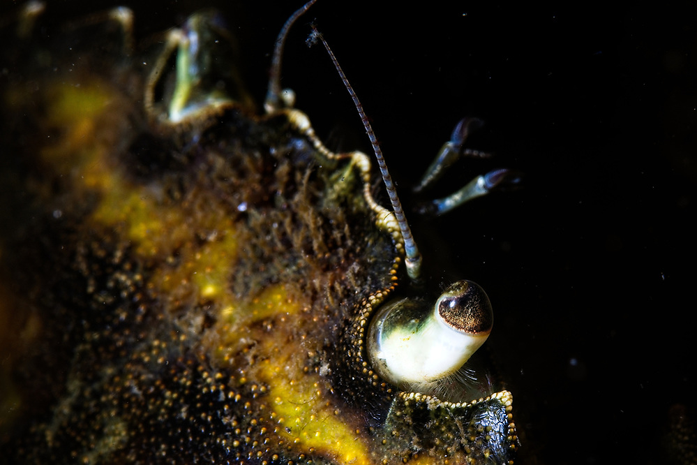 Detail of crab eye 2020 Image from the Below the Skye Line project. Photographer: Gill Williams Post Production: Geraint Ashton Jones https://www.belowtheskyeline.com (Below the Skye Line / © Gill Williams & © Geraint Ashton Jones)