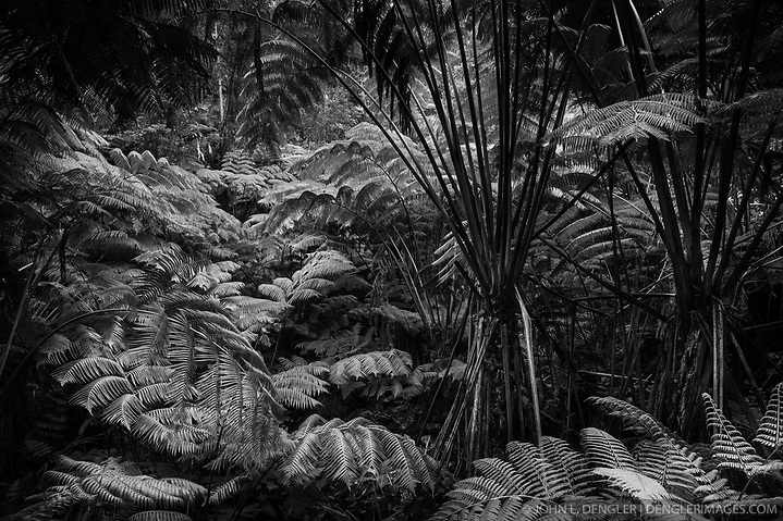An assortment of ferns including Hapu'u tree ferns in the wet forest in a small crater near the Thurston Lava Tube (Nahuku) in Hawaii Volcanoes National Park on the Big Island of Hawaii. (John L. Dengler)
