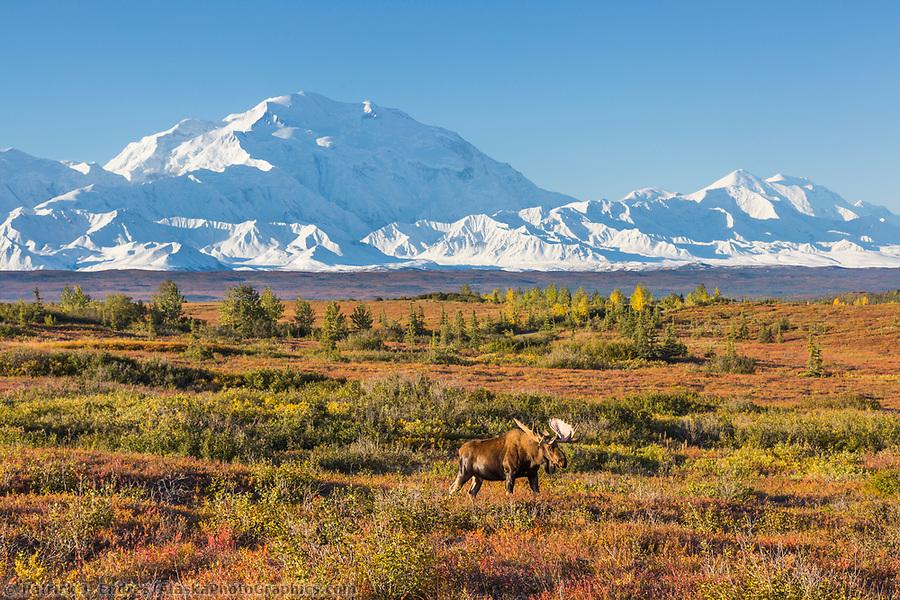 Bull moose walks across the tundra in front of Mt. Denali, Denali National Park, Alaska. (Patrick J Endres / AlaskaPhotoGraphics.com)