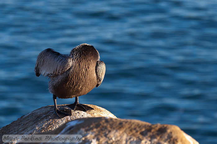 "This bird is starring in a remade of ""The Legend of Sleepy Hollow"", called ""The Legend of Sleepy La Jolla"".  Instead of the headless horseman, the movie features a headless pelican. (Marc C. Perkins)"