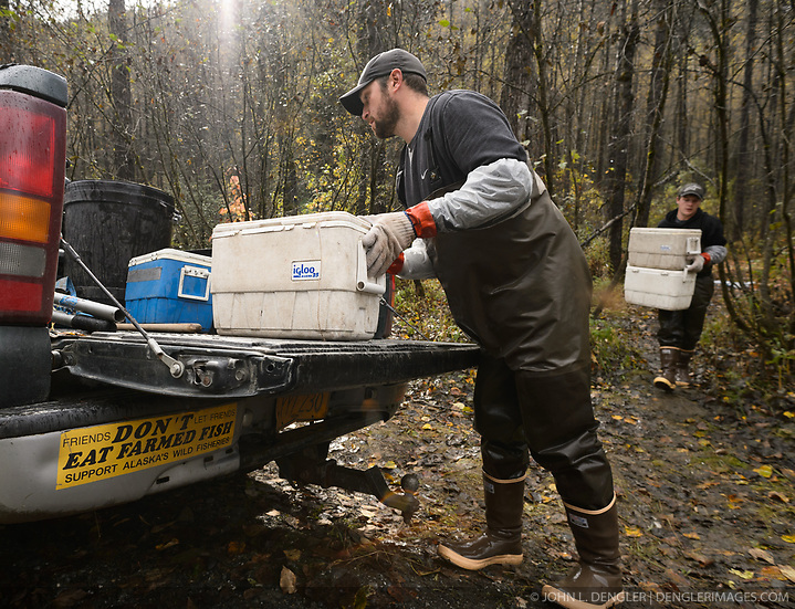 David Campbell (left), and Dylan Burbank fish technicians for the non-profit Northern Southeast Regional Aquaculture Association, Inc. (NSRAA), carry coolers of roe and milt from chum salmon captured on the man-made spawning channel of Herman Creek located near Haines, Alaska. NSRAA built the channel to collect wild broodstock by harvesting spawning female and male salmon for their eggs and milt to artificially spawn wild chum salmon. The eggs are fertilized with milt and placed in stream-side incubation boxes on Herman Creek and the Klehini River. In 2014, 2.4 million eggs were seeded into these incubation boxes. The 2013 incubation box survival rate was 90%. Without the artificial spawning, natural survival is said to be only 10%. As the bumper sticker touts, Alaskan fisherman are proud that fish from Alaska are not farmed fish. At the incubation boxes the eggs will be fertilized with the milt and then placed in the incubation boxes. Over the winter the fertilized eggs will develop into fry. The incubation process is 100% natural. Fry are not fed. Once they are big enough, the fish leave the incubation boxes on their own. Based in Sitka, Alaska, NSRAA conducts salmon enhancement projects in northern southeast Alaska. It is funded through a salmon enhancement tax (of three percent) and cost-recovery income. NSRAA also produces sockeye, chinook, and coho salmon. Male chum salmon return to Herman Creek to spawn with female chum salmon during the fall chum salmon run. The chum salmon return to freshwater Herman Creek, tributary of the Klehini River after living three to five years in the saltwater ocean. Spawning only once, chum salmon die approximately two weeks after they spawn. Chilkat River and Klehini River chum salmon are the primary food source for one of the largest gatherings of bald eagles in the world. Each fall, bald eagles congregate in the Alaska Chilkat Bald Eagle Preserve. (© John L. Dengler/Dengler Images)