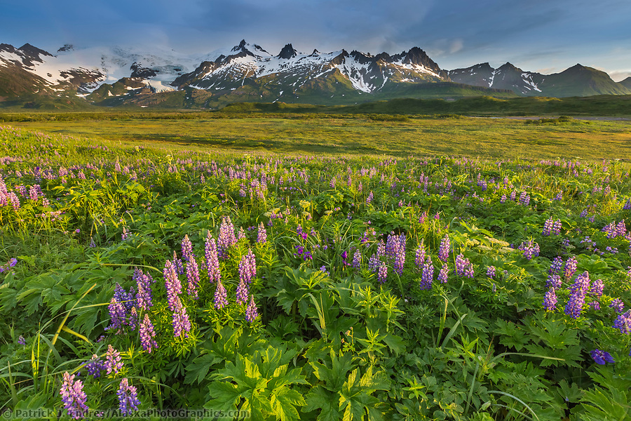 Lupine wildflower meadow in Katmai National Park, Alaska Peninsula, southwest Alaska. Aleutian mountains in the distance. (Patrick J. Endres / AlaskaPhotoGraphics.com)