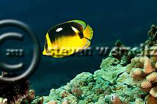 Fourspot Butterflyfish, Chaetodon quadrimaculatus, Gray, 1831, Maui Hawaii (Steven W SMeltzer)