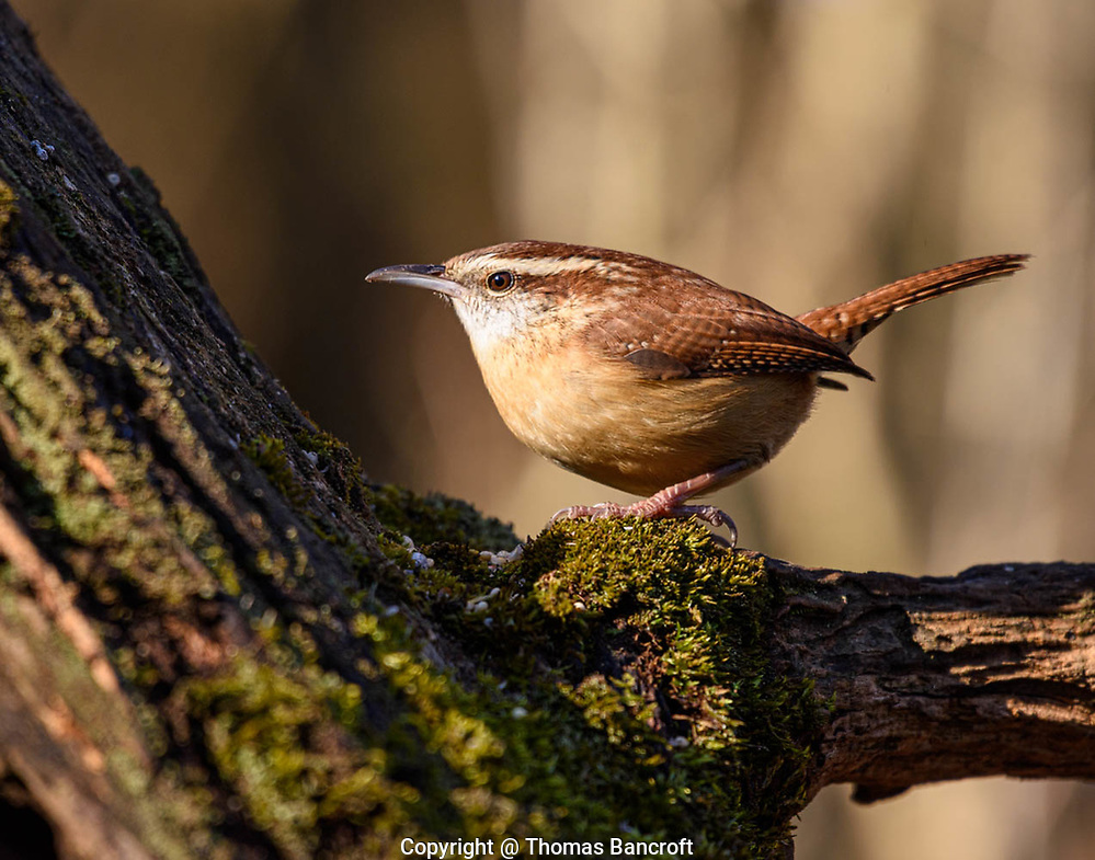 The Carolina Wren moves up the log, probing amont the wood for possible morsels on this cold winter day. (G. Thomas Bancroft)