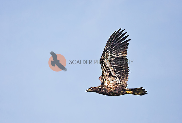 Juvenile Bald Eagle in flight with wings aloft (SandraCalderbank, sandra calderbank)
