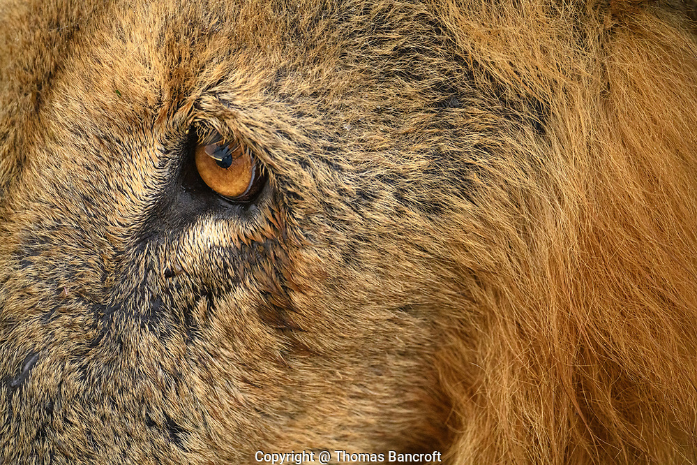 The orange iris of this male African lion blends nicely with the fur on his face. (Thomas Bancroft)