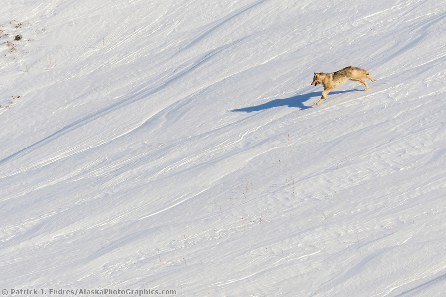 Arctic wolf on the snow covered tundra in Alaska's Arctic. (Patrick J Endres / AlaskaPhotoGraphics.com)