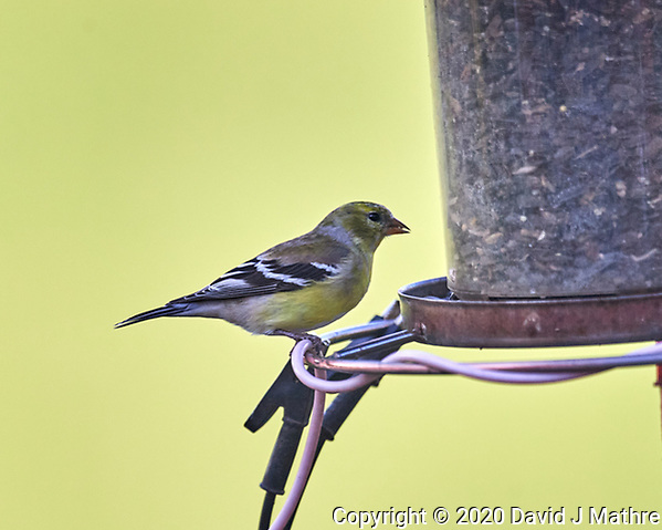 American Goldfinch. Image taken with a Nikon D5 camera and 600 mm f/4 VR lens (ISO 1000, 600 mm, f/4, 1/1250 sec). (DAVID J MATHRE)