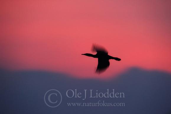 Great Cormorant (Phalacrocorax carbo) in Akagera, Rwanda (Ole Jørgen Liodden)