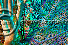 Flamingo Tongue, Cyphoma Gibbosum, on Grogornian fan Grand Cayman (Steven Smeltzer)