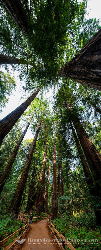 United States, California. Muir Woods National Monument is an an old-growth coastal redwood forest north of San Francisco. (Photo Bjorn Grotting)