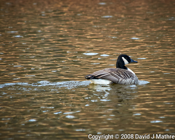 Canada Goose in the pond at the Sourland Mountain Preserve. Image taken with a Nikon D300 camera and 80-400 mm VR lens (ISO 200, 102 mm, f/5.6, 1/1600 sec). (David J Mathre)