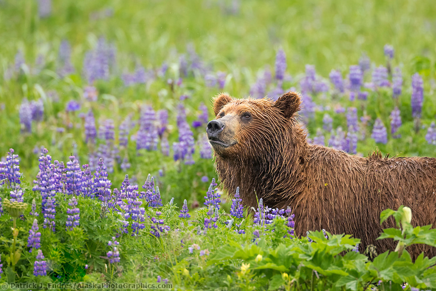Coastal brown bear in a meadow of lupine wildflowers, Katmai National Park, Alaska Peninsula, southwest Alaska. (Patrick J. Endres / AlaskaPhotoGraphics.com)