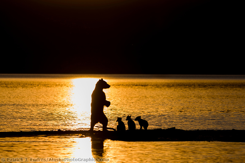 Brown bear sow and triplet cubs of the year fish for salmon on the spit of Brooks River and Naknek lake, Katmai National Park, southwest, Alaska. Ⓒ Patrick J. Endres / AlaskaPhotoGraphics.com