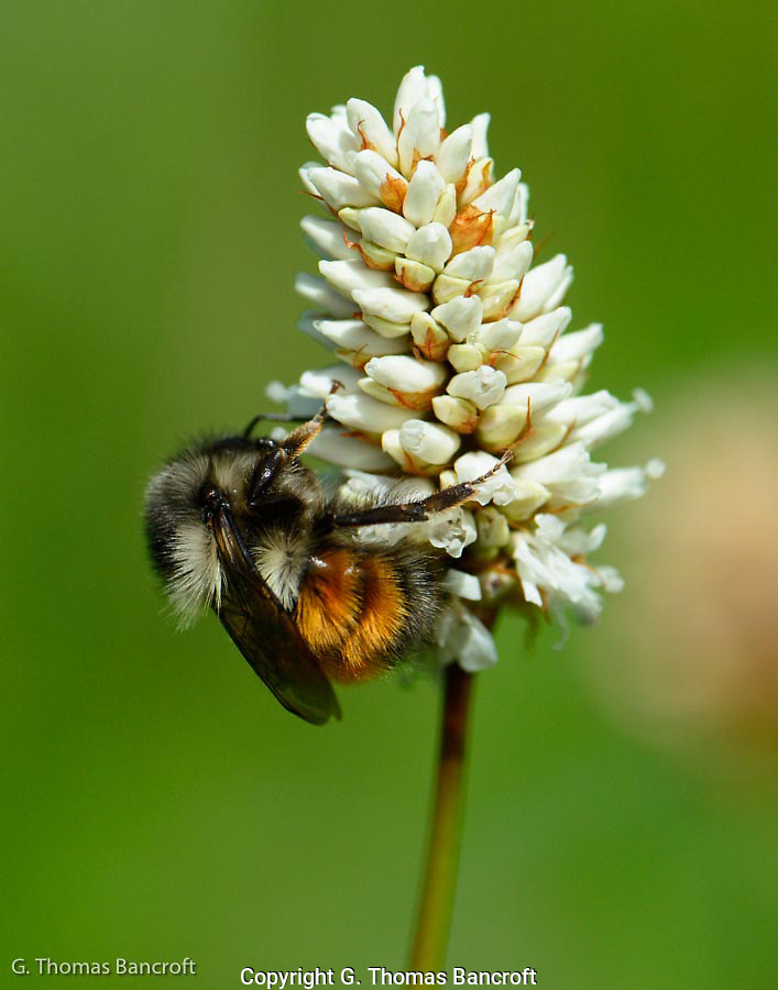 Black-tailed bumblebee probs a flower. (G. Thomas Bancroft)