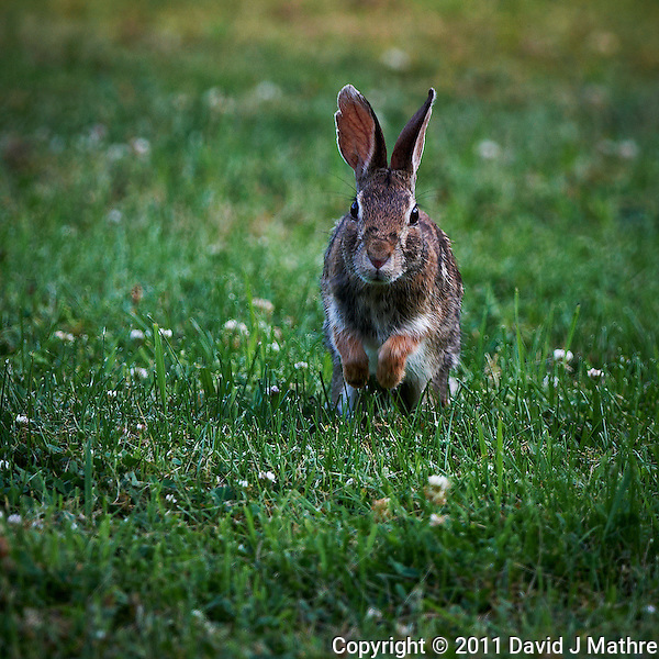 Rabbit Hop. Late Spring Nature in New Jersey. Image taken with a Nikon D3x and 500 mm f/4 VR lens (ISO 400, 500 mm, f/4, 1/250 sec). Raw image processed with Capture One Pro, Focus Magic, and Photoshop CS5. (David J Mathre)