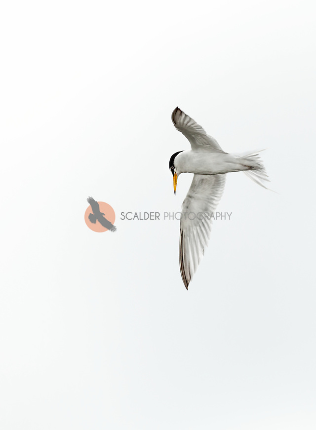 Least Tern in flight against a very cloudy sky (sandra calderbank)