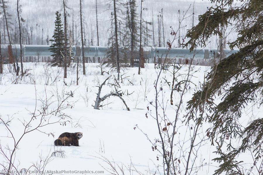 alaska wildlife photos: Wolverine on the snowy tundra near the Trans Alaska Oil Pipeline in Arctic, Alaska. (Patrick J Endres / AlaskaPhotoGraphics.com)