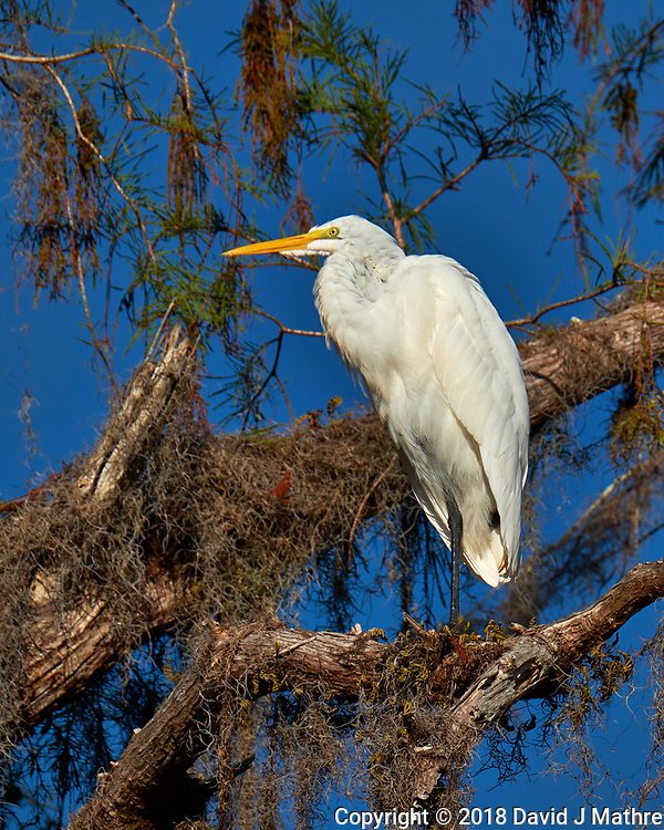 Great Egret above the pond at Clyde Butcher's Gallery. Winter Nature in Florida Image taken with a Fuji X-T2 camera and 100-400 mm OIS telephoto zoom lens (ISO 200, 400 mm, f/8, 1/1500). (David J Mathre)