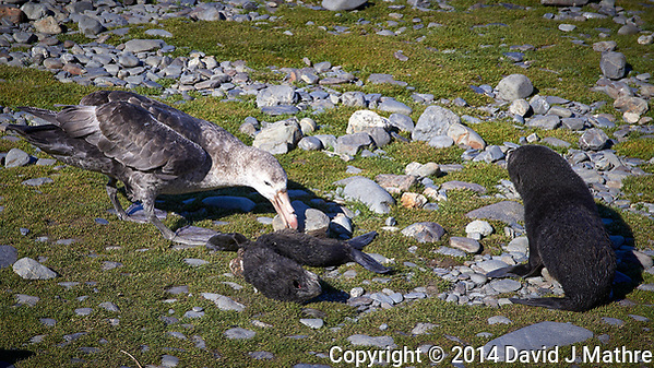 Baby Fur Seal Trying to Ward Off a Southern Giant Petrel from its Dead Sibling near Gryviken in South Georgia. Image taken with a Leica T camera and 18-56 mm lens (ISO 100, 56 mm, f/7, 1/400 sec). Raw image processed with Capture One Pro 8, Focus Magic, and Photoshop CC 2014. (David J Mathre)