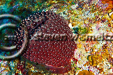 Black Ball Sponge, Ircinia strobilina, Grand Cayman (Steven Smeltzer)