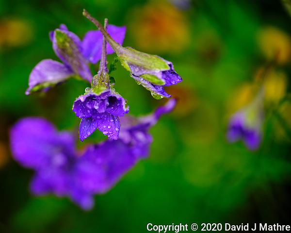 Larkspur after the rain. Image taken with a Fuji X-T3 camera and 80 mm f/2.8 OIS macro lens (DAVID J MATHRE)