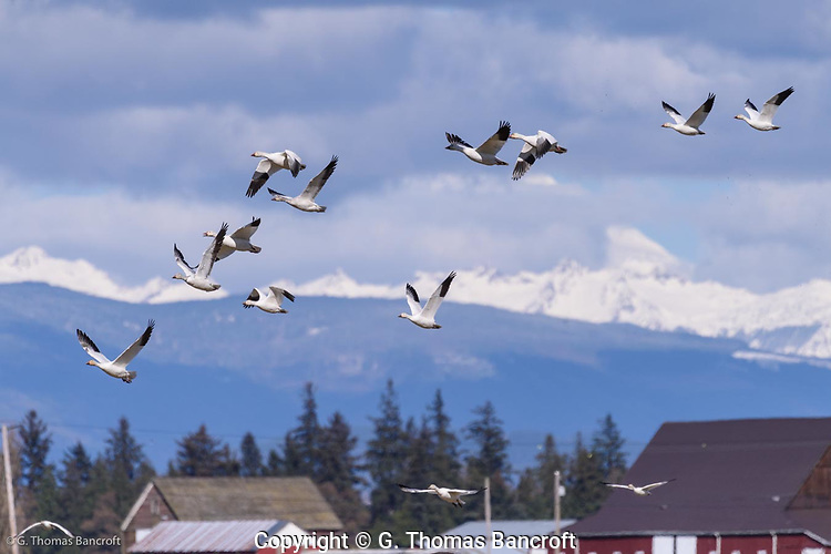 A small flock of snow geese fly in front of Mt. Baker as they take off from a feeding group in the Hayton Reserve in Skagit County. (G. Thomas Bancroft)