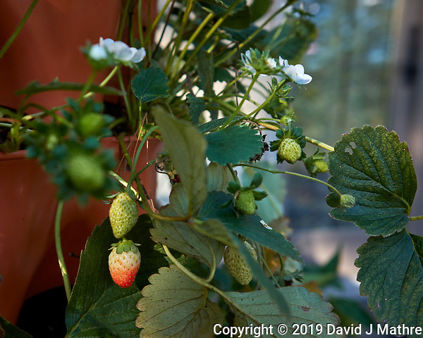 Strawberries that the deer missed on my Patio. Image taken with a Leica CL camera and 23 mm f/2 lens (ISO 100, 23 mm, f/3.2, 1/200 sec). (DAVID J MATHRE)