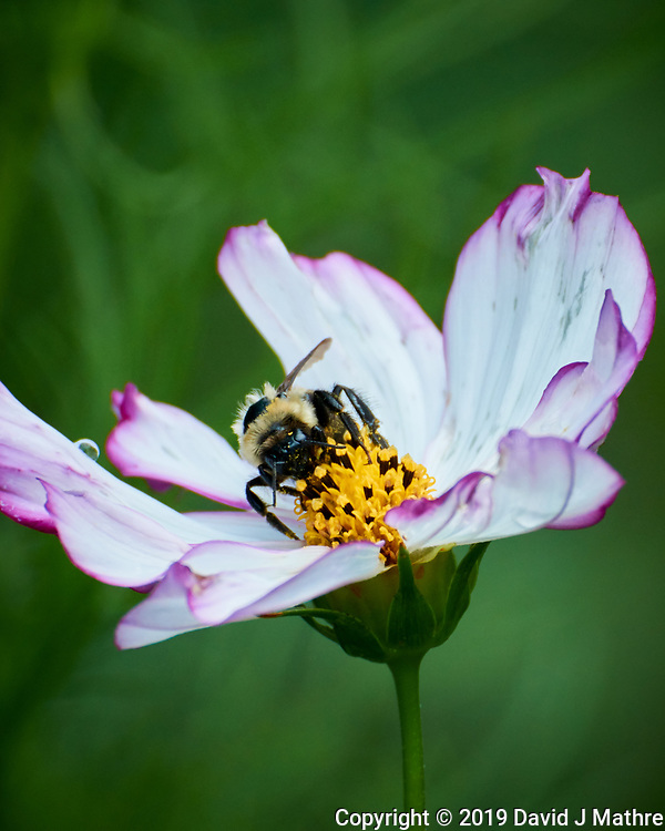 Bumble Bee on a Cosmos Flower. Image taken with a Nikon 1 V3 camera and 70-300 VR lens. (DAVID J MATHRE)