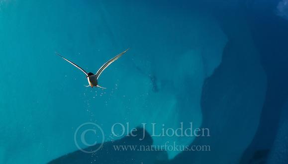 Arctic Tern (Sterna Paradisaea) (Ole Jørgen Liodden)