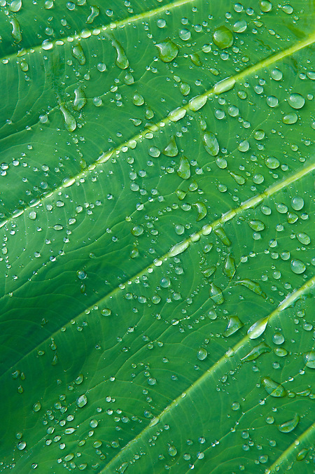 Raindrops on taro leaf; Hana Coast, Maui, Hawaii. (Greg Vaughn/© Greg Vaughn)
