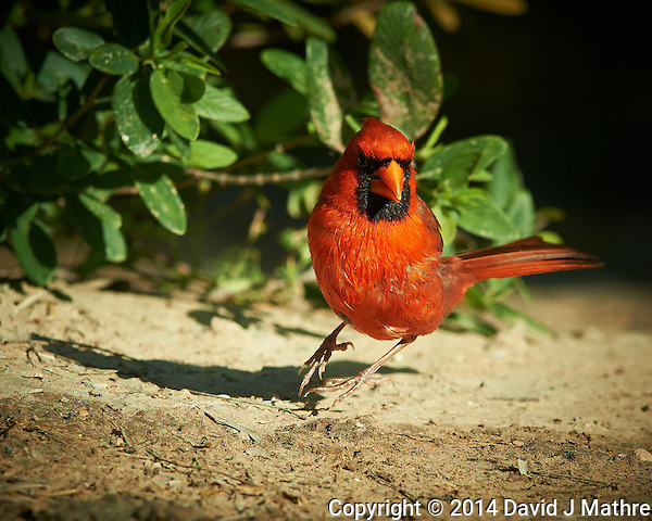 Male Northern Cardinal at Don Vandas Ranch in Southern Texas. Image taken with a Nikon D800 camera and 400 mm f/4 lens (ISO 500, 400 mm, f/5.6, 1/2000 sec. (David J Mathre)