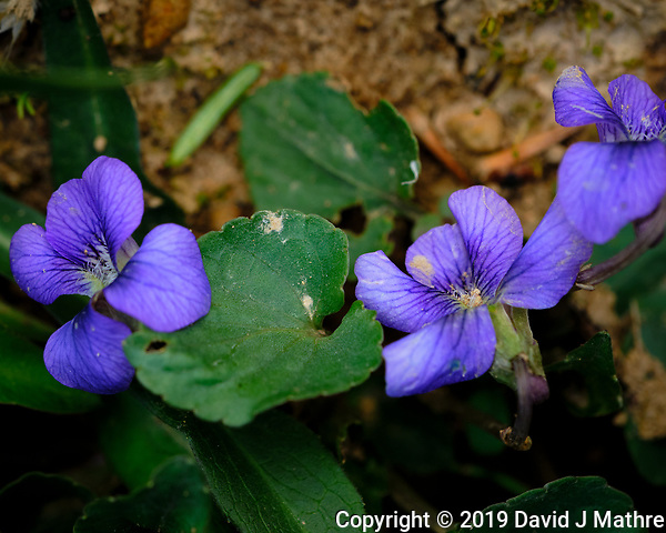 Wild Violet Blooms. New Jersey State Flower. Image taken with a Fuji X-H1 camera and 80 mm f/2.8 macro lens (DAVID J MATHRE)