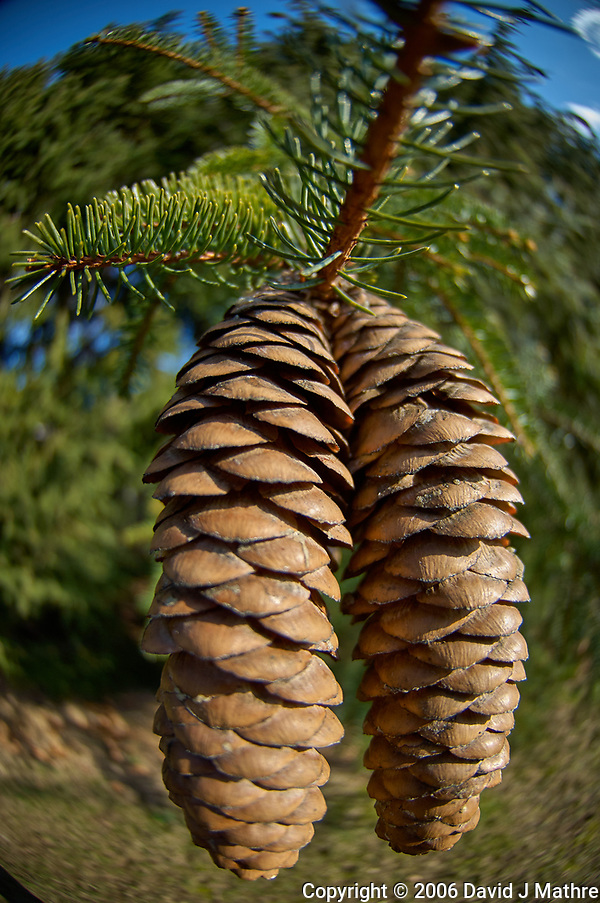 Large Pine Cones. Backyard Winter Nature in New Jersey. Image taken with a Nikon D2xs camera and 10.5 mm f/2.8 fisheye lens (ISO 100, 10.5 mm, f/2.8, 1/640 sec). (David J Mathre)