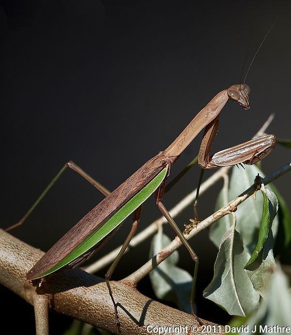 Brown Praying Mantis. Autumn Backyard Nature in New Jersey. Image taken with a Nikon D3x and 300 mm f/2.8 VR lens (ISO 100, 300 mm, f/6.3, 1/500 sec). (David J Mathre)