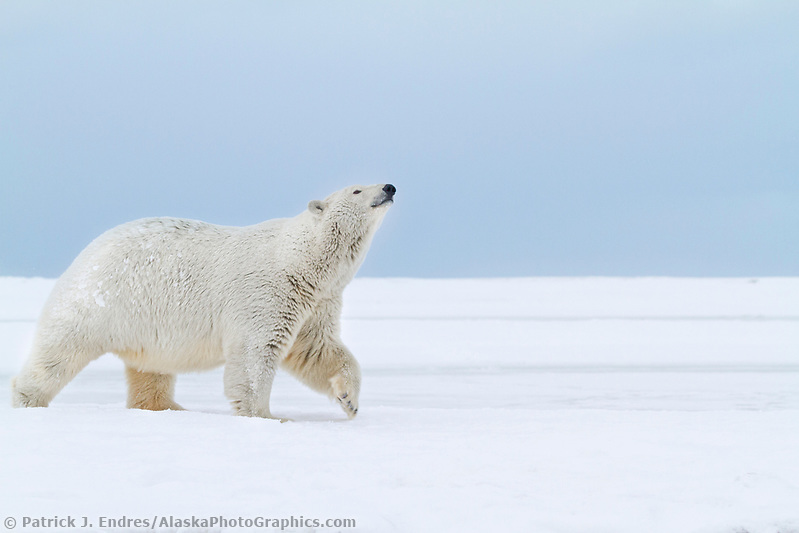 Adult female polar bear walks along the snow covered shore of an island in the Beaufort Sea on Alaska's arctic coast. (Patrick J. Endres / AlaskaPhotoGraphics.com)