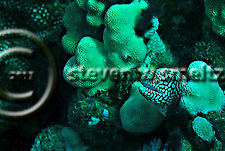 Whitemouth Moray, Gymnothorax meleagris, Rare color variant, (Shaw & Nodder), 1795, Maui Hawaii (Steven Smeltzer)