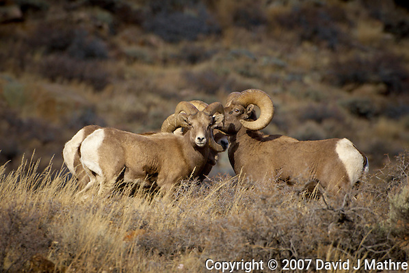 Big Horn Ram Huddle. Along Colorado 14 near Sheridan in Roosevelt National Forest. Image taken with a Nikon D2xs and 200-400 mm lens (ISO 100, 400 mm, f/5.6, 1/125 sec). (David J Mathre)