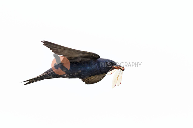 Male Purple Martin in flight with dragonfly in beak (SandraCalderbank, sandra calderbank)