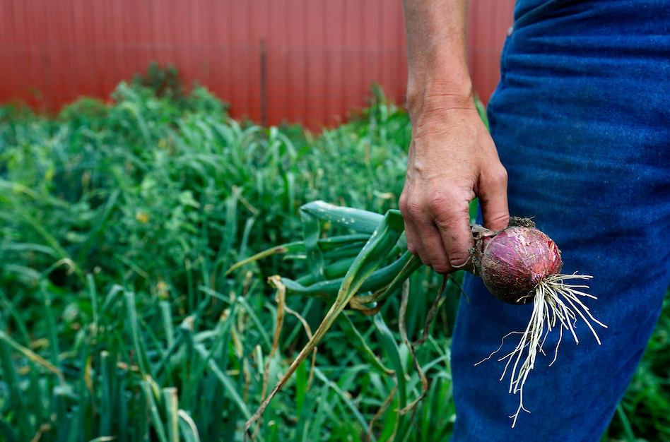 Chemical free farmer Matt Russell holds a freshly harvested red onion on his farm near Lacona on July 11, 2014. (Christopher Gannon/The Register)