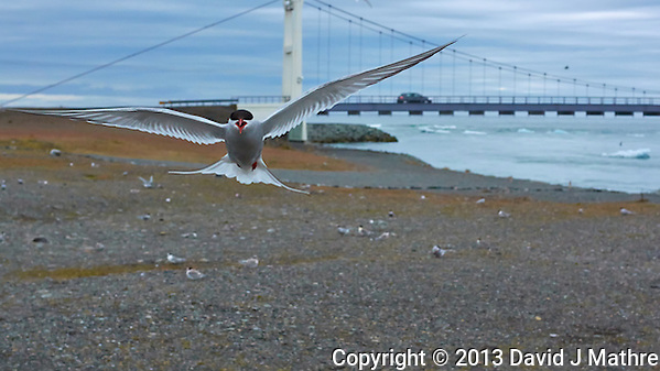Arctic Tern Complaining That I Was Too Close To The Nesting Grounds. (David J Mathre)